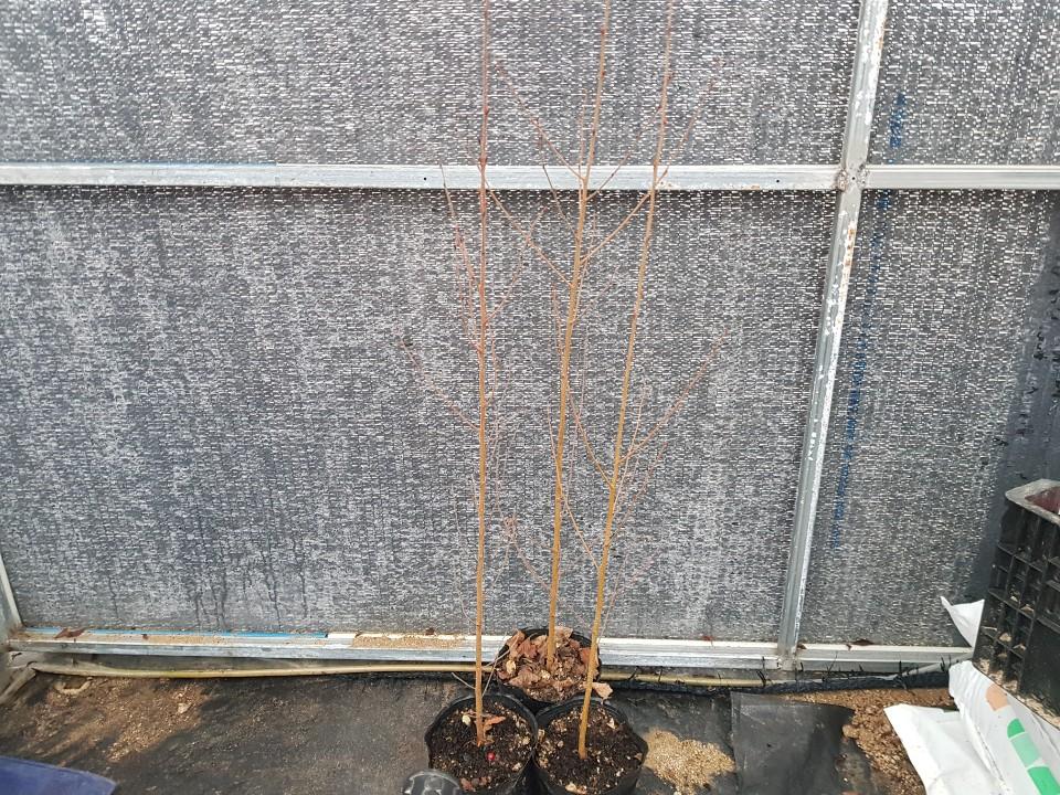 백자작나무 / 2년특묘포트(키180cm)
