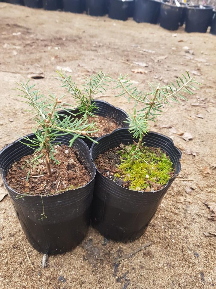 구상나무 2년포트