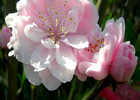 직립꽃복숭아(분홍) / 접목1년