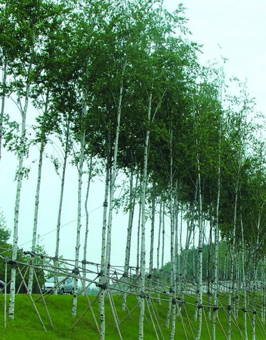 백자작나무 / 2년플러그묘(키120cm)