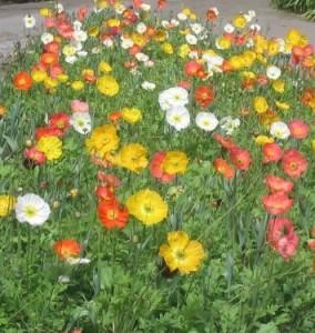 꽃양귀비 포트