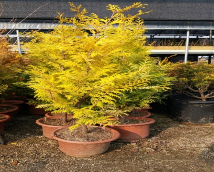 황금화백(황금편백) / 키30-40cm포트묘