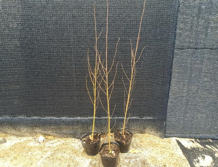잭큐몬티 자작나무 / 2년특묘(키120cm포트)