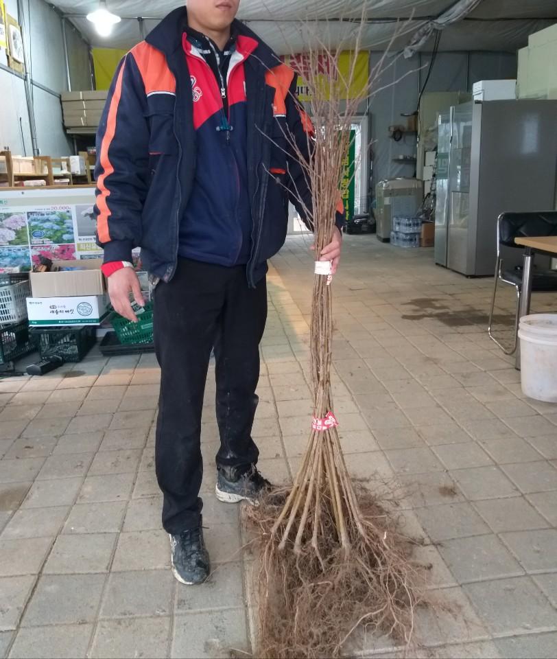 백자작나무 / 실생2년특묘(키150-170cm)